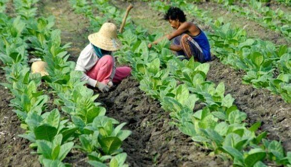 Buruh tani tembakau dan buruh oabrik rokok di Kabupaten Pamekasan, Jawa Timur akan segera menikmati Dana Bagi Hasil Cukai dan Hasil Tembakau (DBHCHT).